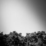 Charakteristisch für Hiddensee - die Waldkiefer