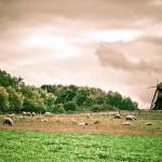 Das Freilichtmuseum in Detmold, Landschaft mit Schafherde und Windmühle - Fotograf metapherschwein.de