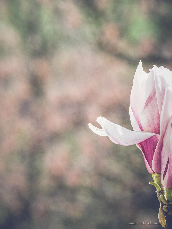 der fr hling gibt sein stelldichein die magnolie bl ht. Black Bedroom Furniture Sets. Home Design Ideas