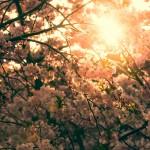 Kirschblütenzweige im April 2015 - metapherschwein.de