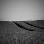 Weizenfeld bei Halvestorf