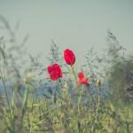 Mohnblumen im Rapsfeld