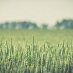Grüne Weizenpflanzen bei Halvestorf