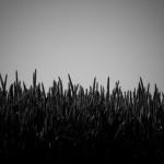 Weizen am Feldrand