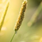 Gräser und Halme