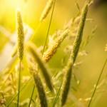 Gräser und Halme im Sonnenlicht