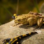 Feuersalamander und Erdkröte am heimischen Gartenteich