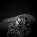 Erdkröte im heimischen Garten am Teich