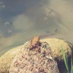 Erdkröte am Wasser