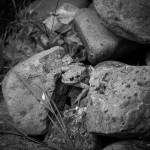 Erdkröte zwischen Steinen