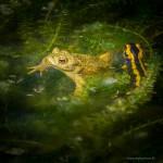 Erdkröte und Feuersalamander in Wasserpest