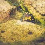 Erwachsene Salamander ernähren sich weitgehend von wirbellosen Organismen wie Asseln, kleinen weichen Käfern sowie kleinen bis mittelgroßen Exemplaren der Wald-Wegschnecke, Braunen Wegschnecke sowie Roten Wegschnecke.