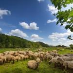 Dösende Schafherde in der Mittagshitze bei Emmern / Hämelschenburg