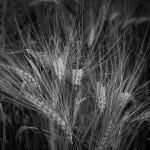 Es geht vorbei an Gerstenfeldern in voller Pracht
