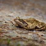 Kaum zu erkennen, macht sich dieser Grasfrosch ganz flach, um nicht entdeckt zu werden...zu spät...