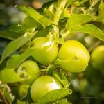 Viele Obstbäume säumen das Gelände am Doktorsee