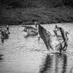 Graugänse im östlich gelegenen Vogelschutzgebiet des Steinhuder Meeres